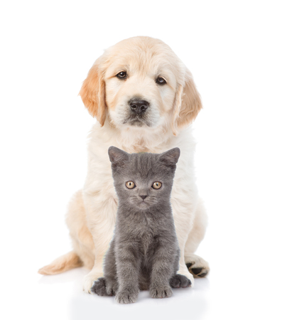 cat isolated: Golden retriever puppy sitting with a kitten. isolated on white background.
