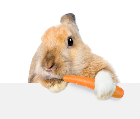 Rabbit eating carrot and looking over a signboard. Isolated on white background.