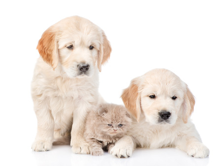 white cats: Tiny kitten lies between two golden retriever puppies. isolated on white background.