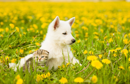 summer dog: Puppy and kitten lying on dandelion field together. Stock Photo