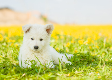 White Swiss Shepherd`s puppy lying on dandelion field. Stock Photo