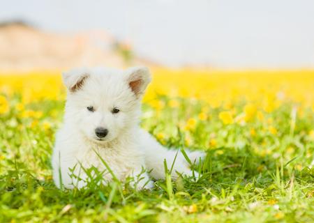 berger: White Swiss Shepherd`s puppy lying on dandelion field. Stock Photo