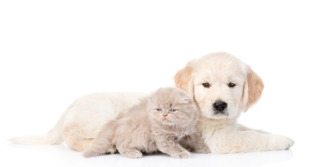 white cats: Golden retriever puppy and kitten lying together in side view. isolated on white background. Stock Photo