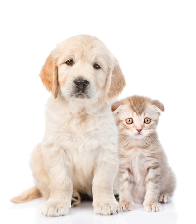white cats: Golden retriever puppy sitting with a kitten. isolated on white background.