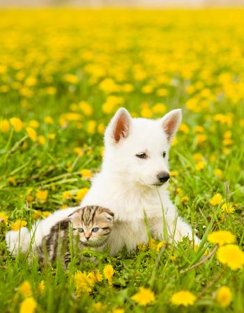 dandelion field: Puppy and kitten lying together on a dandelion field.