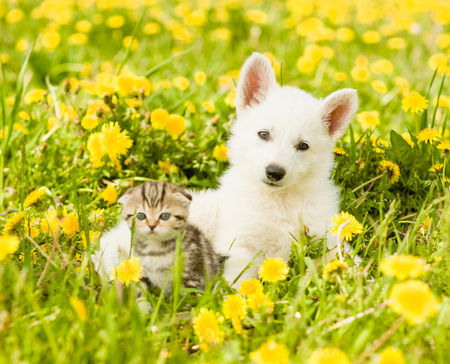 Portrait of a puppy and a kitten on a dandelion field.