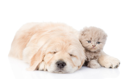 golden retriever puppy: Sleeping golden retriever puppy embracing tiny kitten. isolated on white background.