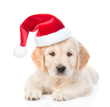 labrador christmas: Golden retriever puppy in red christmas hat. isolated on white background. Stock Photo