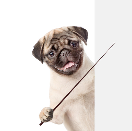 paw smart: Dog holding a pointing stick and points on empty banner. isolated on white background.