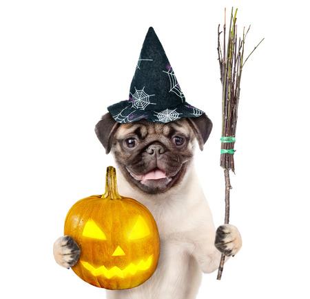 retama: Perro en el sombrero para Halloween sosteniendo escoba de bruja palo y calabaza. aislado sobre fondo blanco.