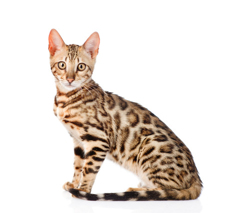 prionailurus: Portrait of a purebred bengal cat. isolated on white background.
