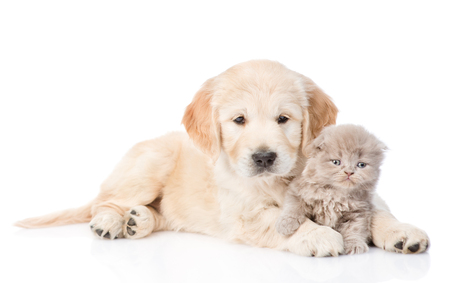retriever: Golden retriever puppy and tiny kitten together. isolated on white background. Stock Photo