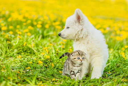 summer dog: Puppy with kitten on a dandelion field looking away.