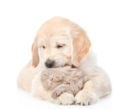 golden retriever puppy: Golden retriever puppy hugging a small kitten. isolated on white background.