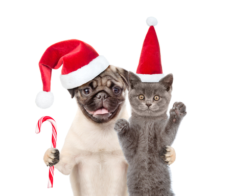 carlin: Pug puppy with christmas candy cane embracing scottish cat in red santa hat. isolated on white background.