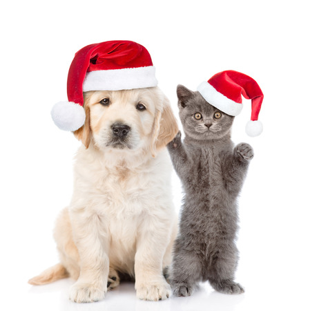 Funny kitten and golden retriever puppy in red christmas hats together. isolated on white background.