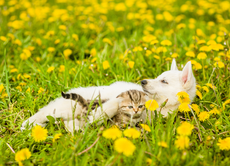 pet cat: Puppy playing with a kitten on the lawn of dandelions. Stock Photo