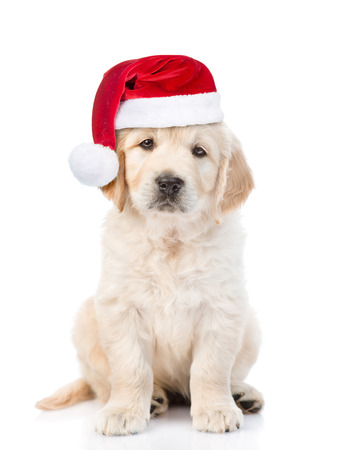 golden retriever puppy: Golden retriever puppy in red christmas hat. isolated on white background. Stock Photo