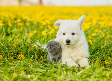 pet cat: Cute puppy and kitten lying together on dandelion field.