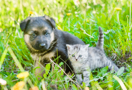 German shepherd puppy sitting with tiny kitten together on green grass.