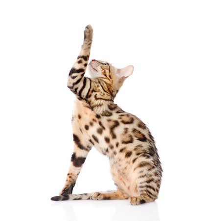 prionailurus: Playful Bengal cat looking up. isolated on white background.