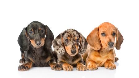 Group Dachshund puppies lying together. isolated on white background. Stock Photo