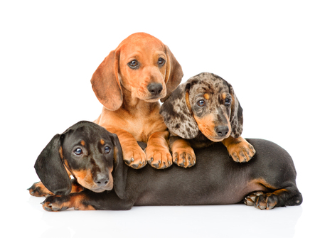 Group Dachshund dogs lying together. isolated on white background. 스톡 콘텐츠