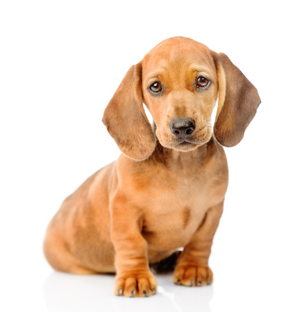 Dachshund dog portrait. isolated on white background.
