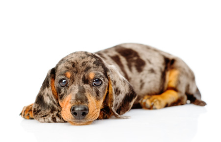 Sad spotted dachshund puppy looking at camera. isolated on white background. Stock Photo