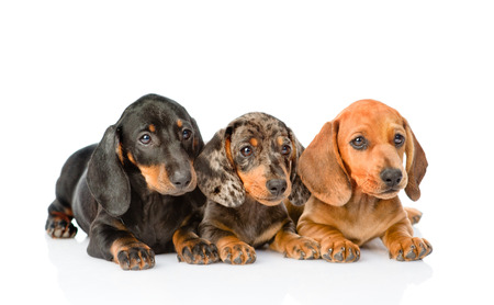 Group Dachshund puppies lying together. isolated on white background. Standard-Bild