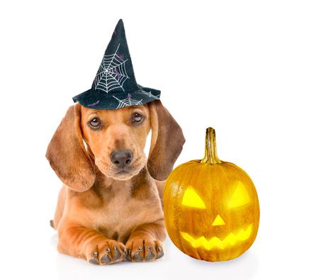 perros vestidos: cachorro de perro salchicha con sombrero para Halloween y calabaza. aislado sobre fondo blanco. Foto de archivo