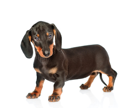 Black dachshund puppy standing in side view. isolated on white background.