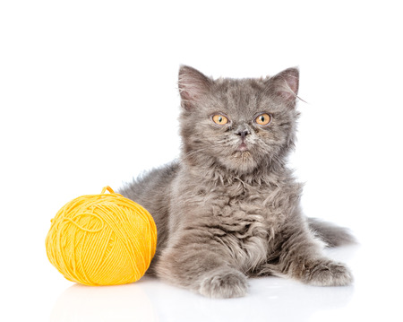 Scottish cat lying with a ball of wool. isolated on white background.