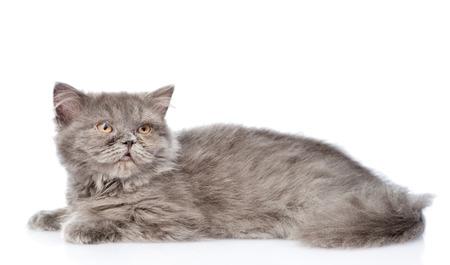 highlander: Scottish highlander cat lying in side view. isolated on white background.