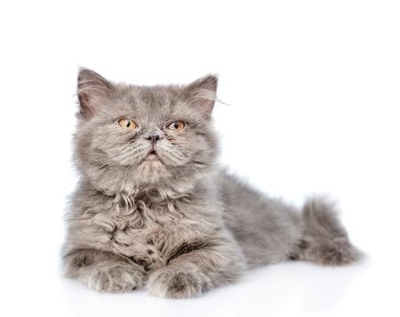 highlander: Montañés escocés gato mirando hacia arriba. aislado sobre fondo blanco.