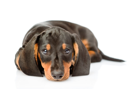 Sad black dachshund puppy lying in front view. isolated on white background.