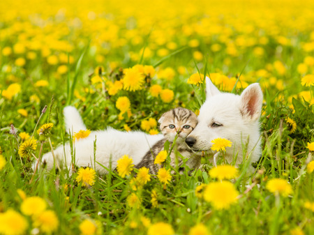 Puppy and kitten lying together on a dandelion field.