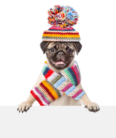 Pug puppy wearing a scarf and warm hat peeking from behind empty board. isolated on white background.