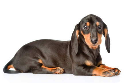 breed: Black dachshund puppy lying in side view. isolated on white background. Stock Photo