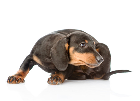 parasite: Dachshund puppy scratching. isolated on white background.