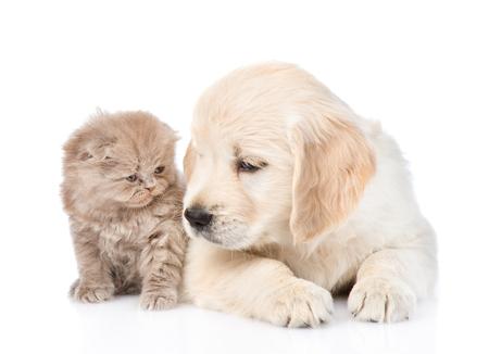 golden retriever puppy: Golden retriever puppy with scottish kitten. isolated on white background. Stock Photo
