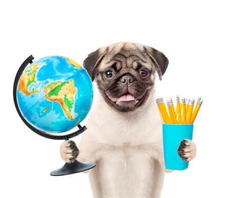 carlin: Pug puppy holding globe and pencils. isolated on white background. Stock Photo
