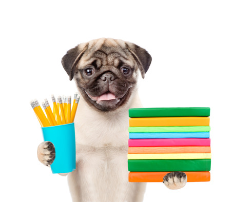 paw smart: Pug puppy holding books and pencils. isolated on white background. Stock Photo