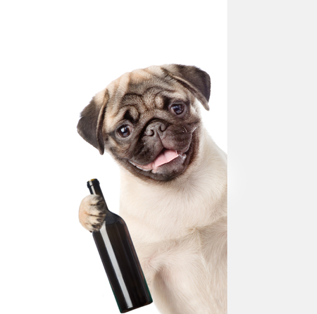 carlin: Puppy holding a bottle of red wine behind a white and blank banner. isolated on white background. Stock Photo