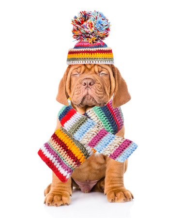 Bordeaux puppy dog wearing a scarf and warm hat with pompon. isolated on white background.