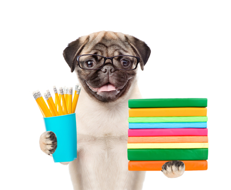 carlin: Pug puppy in eyeglasses holding books and pencils. isolated on white background. Stock Photo