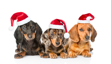 dachshund: Group Dachshund puppies in christmas hats. isolated on white background.