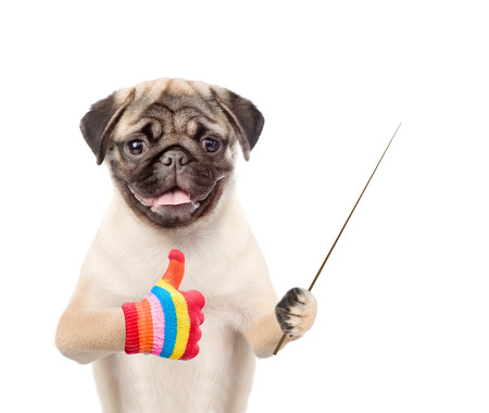 carlin: Dog holding a pointing stick and showing thumbs up. isolated on white background. Stock Photo