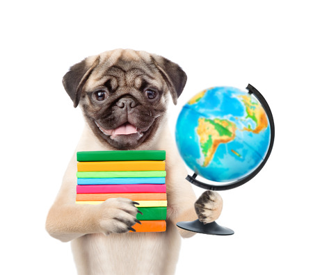carlin: Pug puppy holding books and globe. isolated on white background. Stock Photo