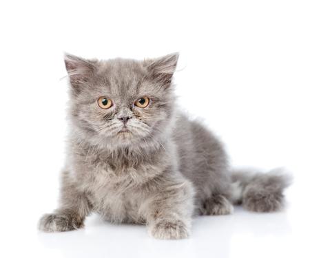 highlander: Scottish highlander cat looking at camera. isolated on white background.